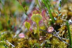 Droserarotundifolia Royaltyfri Foto