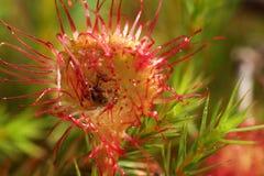 Droseras hambrientas de las flores Foto de archivo libre de regalías