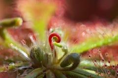Droseraspatulata, Rosiczka tropikalna, wieloletniawystÄ™pujÄ… ca w Chinach, Indonezji, Borneo, Australien, Nowa Zelandia Arkivbild