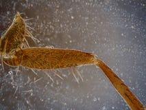Drosofila komarnicy noga pod mikroskopią Zdjęcie Royalty Free
