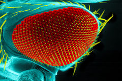 Drosophilaöga Fotografering för Bildbyråer