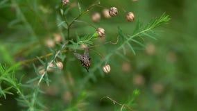 Drosophila μύγα σε ένα φύλλο απόθεμα βίντεο