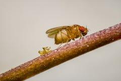 Drosophila eggs Royalty Free Stock Images