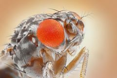 Fruit fly Stock Photo