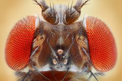 Drosophilamelanogaster Royaltyfria Bilder