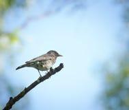 Drossel, die auf einem Baumast im Wald sitzt Lizenzfreies Stockfoto