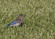 Drossel-gewordener Vogel Lizenzfreie Stockfotografie