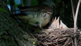 Drossel-Wacholderdrosselnestlinge, die in einer Nestwartefütterung sitzen stock footage