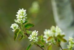 Drosselklappen-Kirschblüte Stockbilder