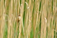 Drosselrohrsänger Acrocephalus arundinaceus Mannesvogel Lizenzfreies Stockfoto