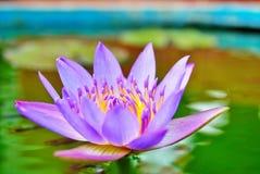 Drottning av den härliga lotusblommafruktsaften Arkivfoton