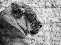 Drottning av djungeln royaltyfria bilder