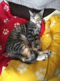 Drottning Cleo katten royaltyfri fotografi
