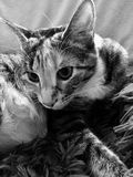Drottning Cleo katten royaltyfria bilder