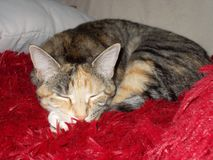 Drottning Cleo katten arkivfoto