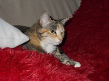 Drottning Cleo katten arkivbilder
