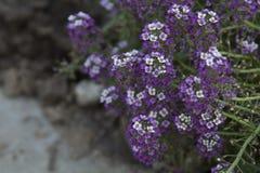 Drottning för blommaAlyssumrosa färger Arkivbild