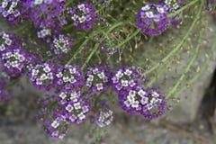 Drottning för blommaAlyssumrosa färger Arkivfoto