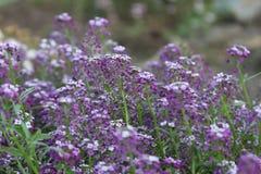 Drottning för blommaAlyssumrosa färger Royaltyfria Bilder