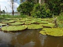 Drottning Victoria Lily Pads längs Amazonet River av Brasilien arkivfoton