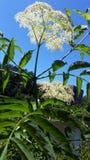 Drottningen Annes snör åt blomman mot ljus blå himmel Royaltyfri Fotografi