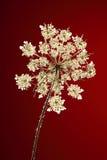 Drottningen Annes snör åt blomman på rött mörker - Royaltyfri Foto