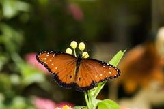 Drottningfjäril arkivfoton
