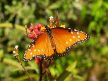 Drottningfjäril med den fulla vingbredden arkivbilder