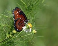 Drottningfjäril som pollinerar blomman för spanska visare Arkivfoto