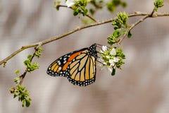 Drottningfjärilsvingar vek och att mata på blomman Royaltyfria Foton