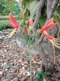 1 drottningliljaPhaedranassa Amaryllidaceae Eucrosis spp Arkivbilder