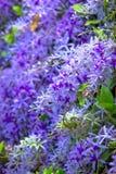 Drottnings blomma för kransvinranka Arkivbild