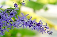 Drottnings blomma för kransvinranka (den purpurfärgade kransblomman, sandpappervinranka Arkivfoton