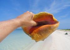 Drottningtrumpetsnäcka på den ofördärvade stranden royaltyfria foton