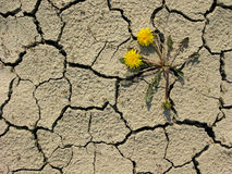 Drought. Taraxacum flower grown up on dry ground Royalty Free Stock Photo