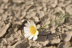 Drought. Daisy laying on dried and cracked land Stock Photography