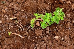 Drought affect young plant in soil stock image