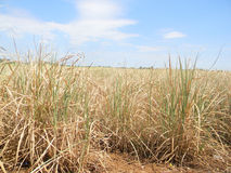 Drought affected  sugarcane  in  field Stock Photo