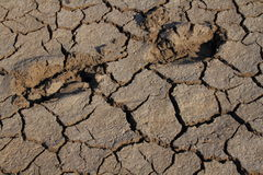 Drought in Africa. Animal tracks in the cracked dry mud is evidence of drought in Africa stock image