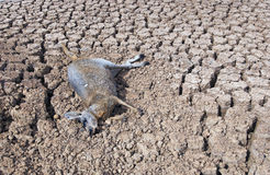 Drought in Australia. Drought kills thousands of kangaroos in Sturt National Park in the far north west of NSW. Dead roos litter all the dried up dams in the royalty free stock images