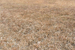 Drought. Background of dried grass in a drought season royalty free stock images