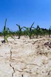 Drought conditions in Illinois corn field Royalty Free Stock Images