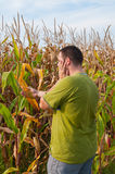 Drought and Corn. Man checking the destroyed corn after hot summer drought stock image