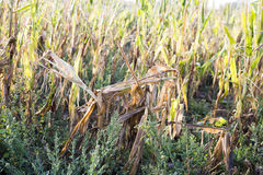 Drought at corn field Stock Image
