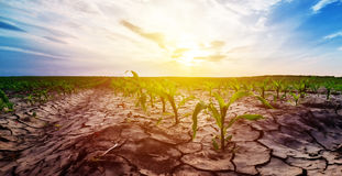 Drought in corn field. Drought in cultivated corn maize crop field Royalty Free Stock Image