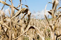 Drought corn field. Image of drought corn field background royalty free stock images