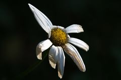 Drought damage to daisy flower. Daisy flower with drought damage Stock Image