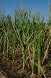 Drought damaged corn Royalty Free Stock Photos