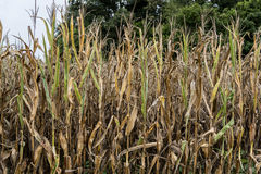 Drought Damaged Corn Crop Royalty Free Stock Photography