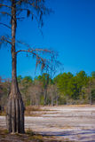 Drought in forest. Dry cypress tree, normally submerged in water, stands alone in front of forest Stock Photos